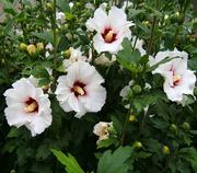 Саженцы «Гибискус Сирийский» (сирийская роза)